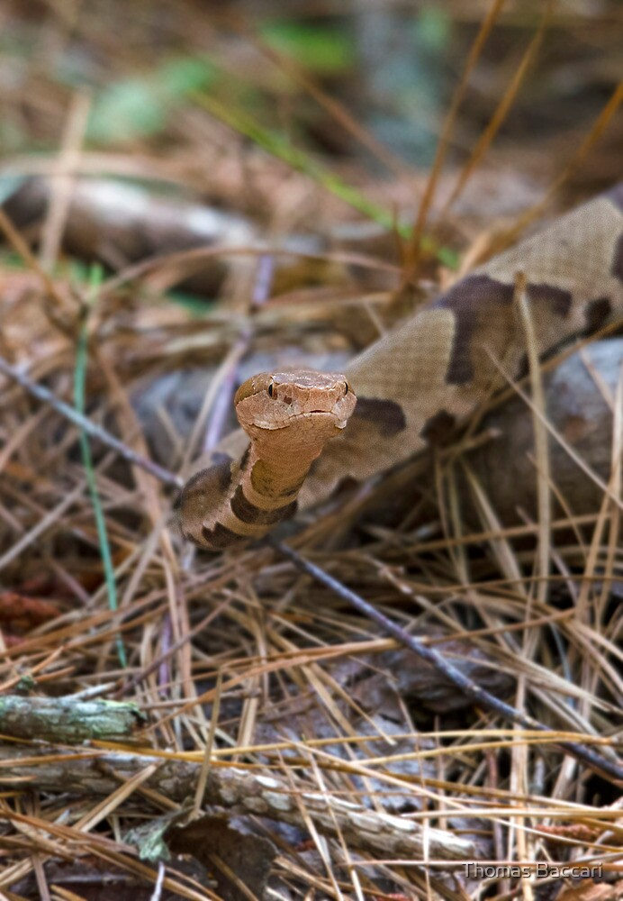 Copperhead Snake by TJ Baccari Photography