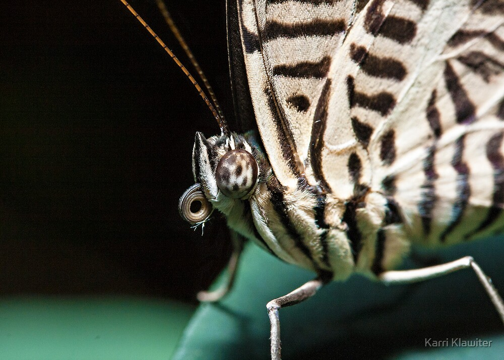 Colobura dirce (Zebra Mosaic) by Karri Klawiter