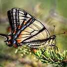 Canadian Tiger Swallowtail by Ashlee White