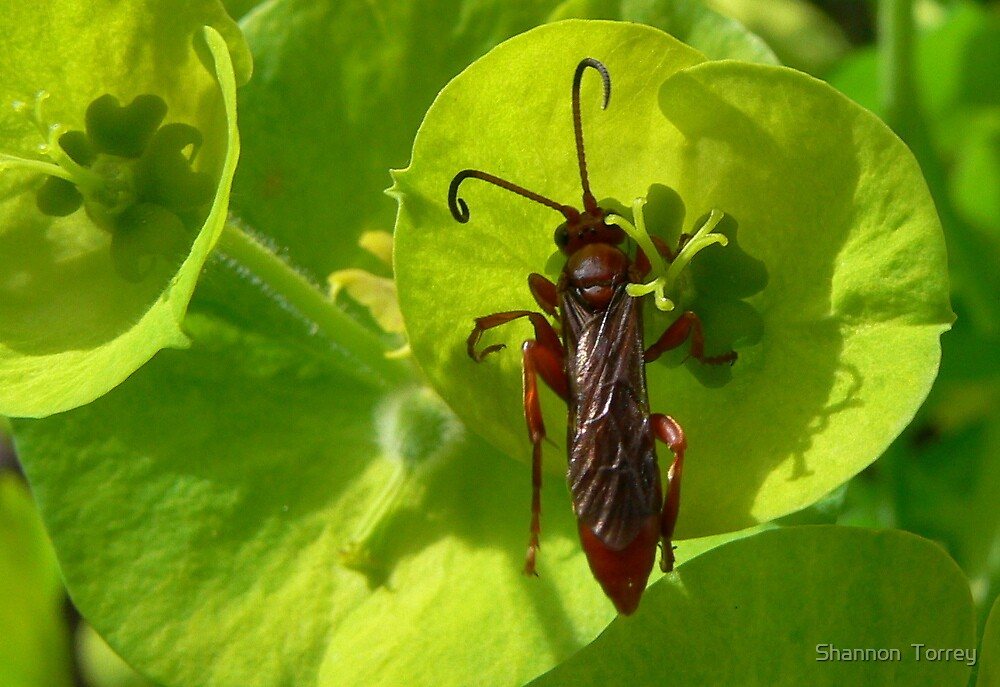 Soldier beetle on green by Shannon  Torrey