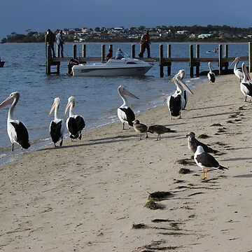 "pelicans waiting for a feed of fish ""guts"" by gaylene"