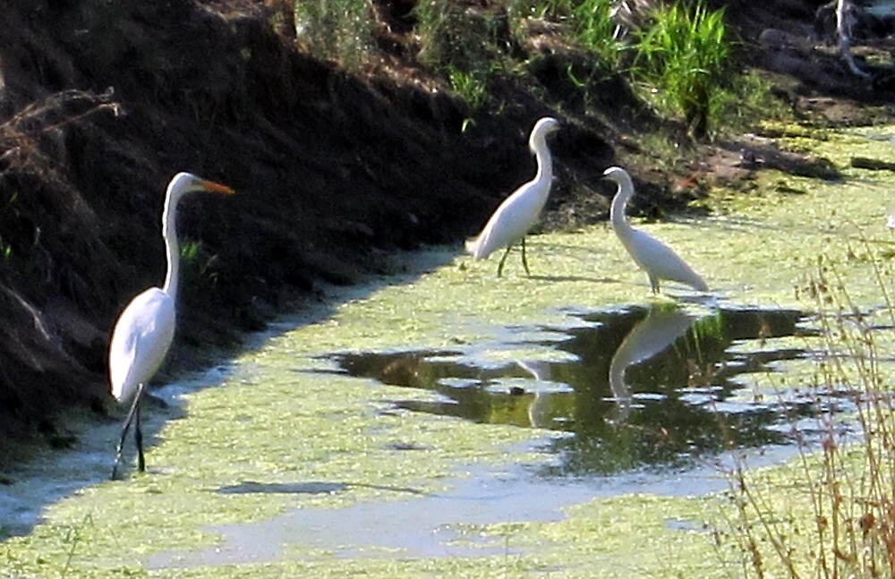 Snow Egret Family by Chris Gudger