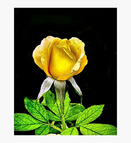 Tropical Sunset Rose Photographic Print