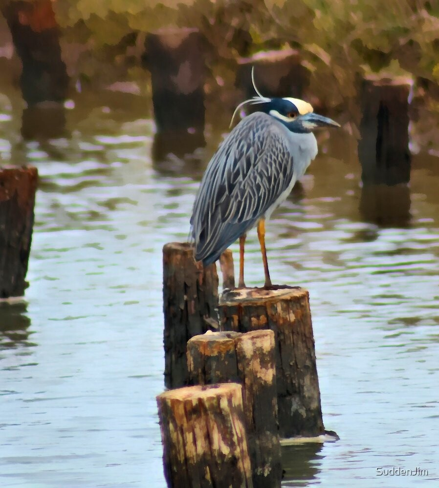Yellow Crowned Night Heron by SuddenJim