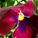 Red Pansy by Imagery