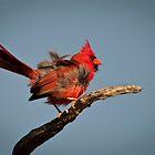 Windblown Juvenile Male Cardinal by Joe Jennelle