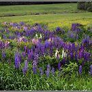 The Lupine Field by Wayne King