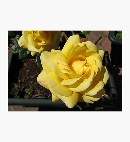 Sunlit Yellow Roses Photographic Print