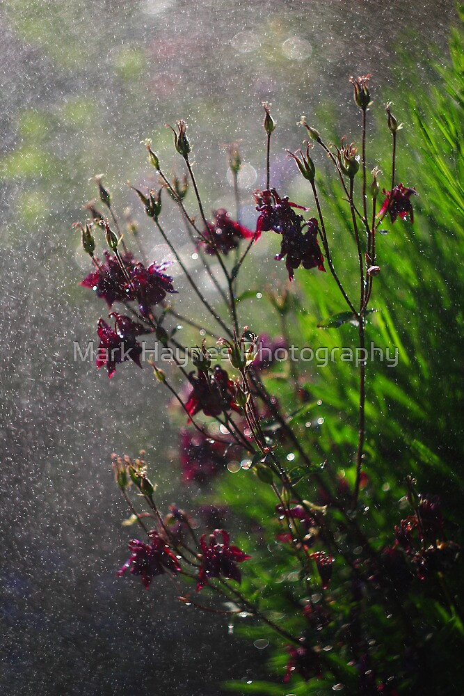 Immersion Series - Aquilegia Rain by Mark Haynes Photography