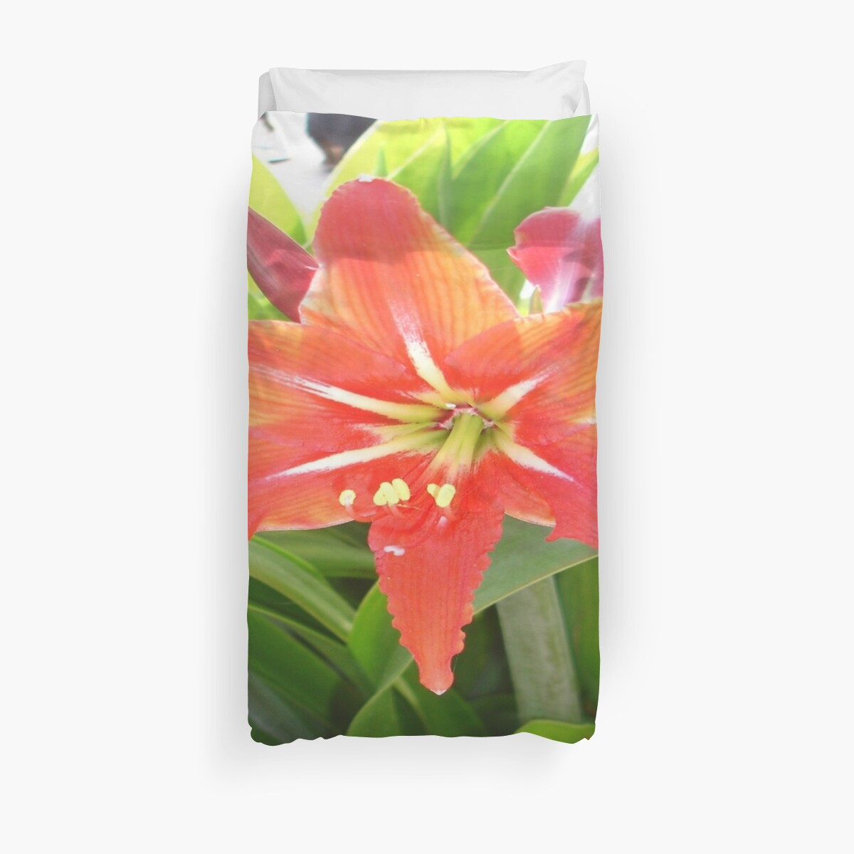 Orange Amaryllis Flower Blooms in Springtime by taiche