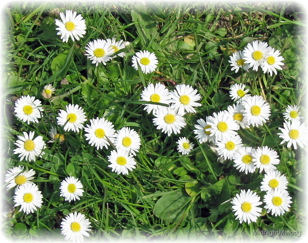 Consetellations of Daisies by MidnightMelody