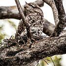 Papuan Frogmouth - Mum & Chick IV by Richard Heath