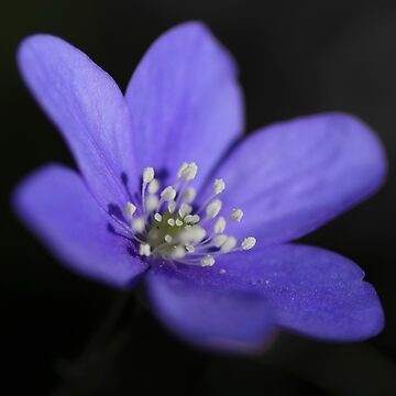 Hepatica by marregurra