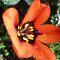 *AVATAR/Orange with teardrops - Gorgeous Flower Cards*