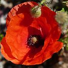POPPY RED by Marilyn Grimble