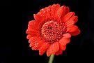 Red Gerbera by Sally Green