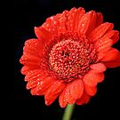 Red Gerbera by Sally Green