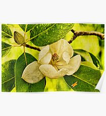 Sweet Bay Magnolia After The Rain Poster