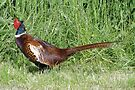 The Pleasant Pheasant by Barrie Woodward