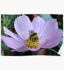 Bumble Bee and Cosmos Poster