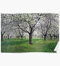 Canopy of Apple Blossoms Poster