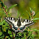 European swallowtail  by Steve Shand