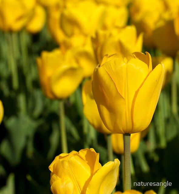 Yellow Tulips by naturesangle