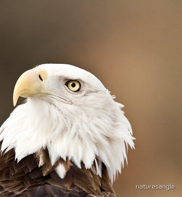 Bald Eagle by naturesangle