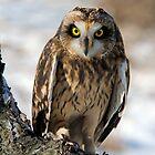 Short Ear Owl by naturesangle