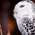Snowy Owl 2 by Karri Klawiter