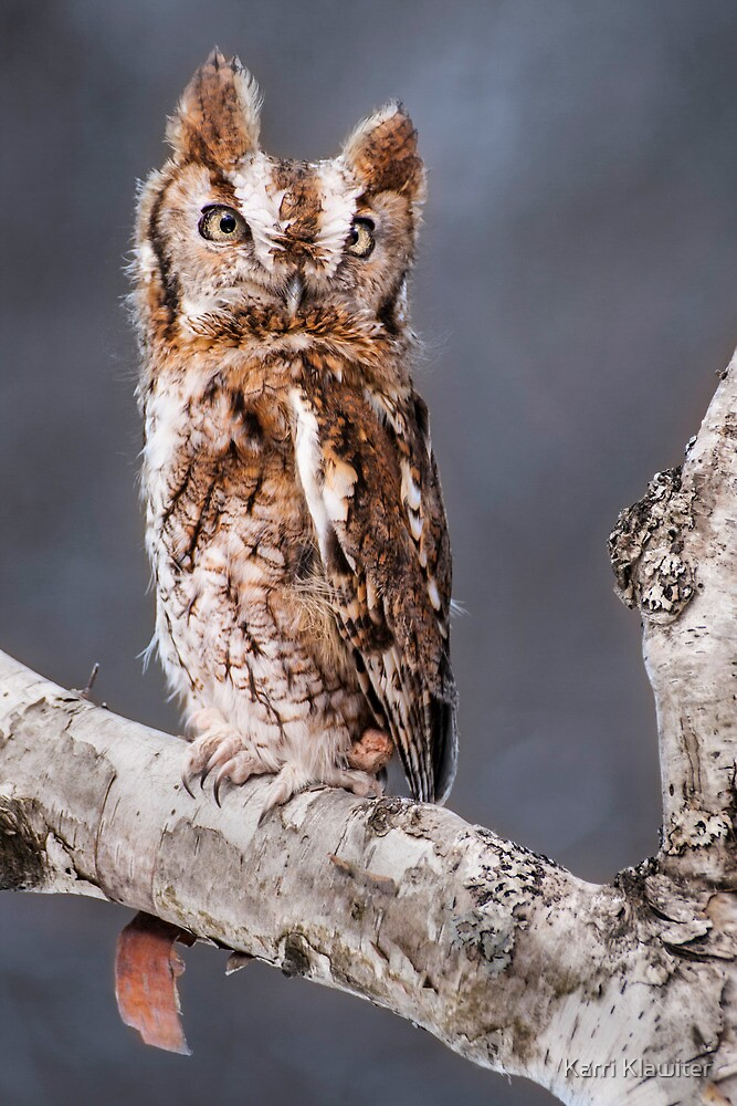 Red Screech Owl by Karri Klawiter