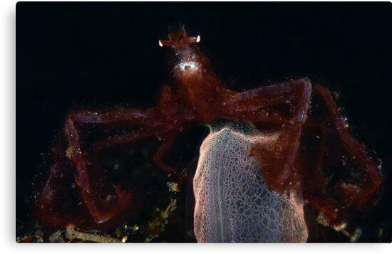 Orang-outang Crab  by MattTworkowski