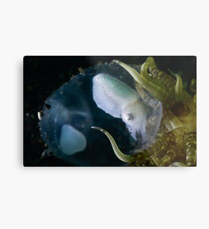 Baby Cuttle In Egg Metal Print