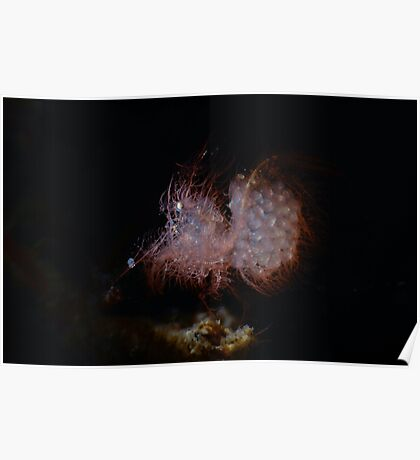 Hairy Shrimp With Eggs Poster