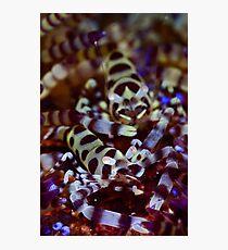 Coleman's Shrimp Photographic Print