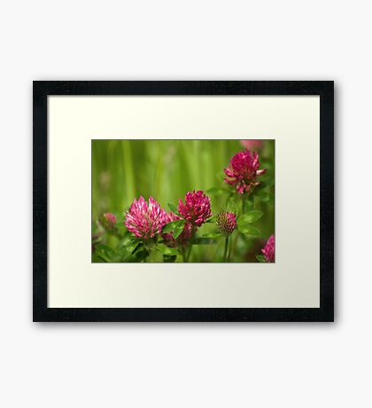 Simple beauty of red clover Framed Print