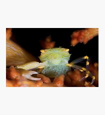 Yellow Porcelain Crab With Eggs Photographic Print