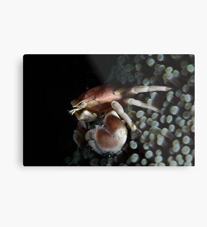 Porcelain  Crab Metal Print