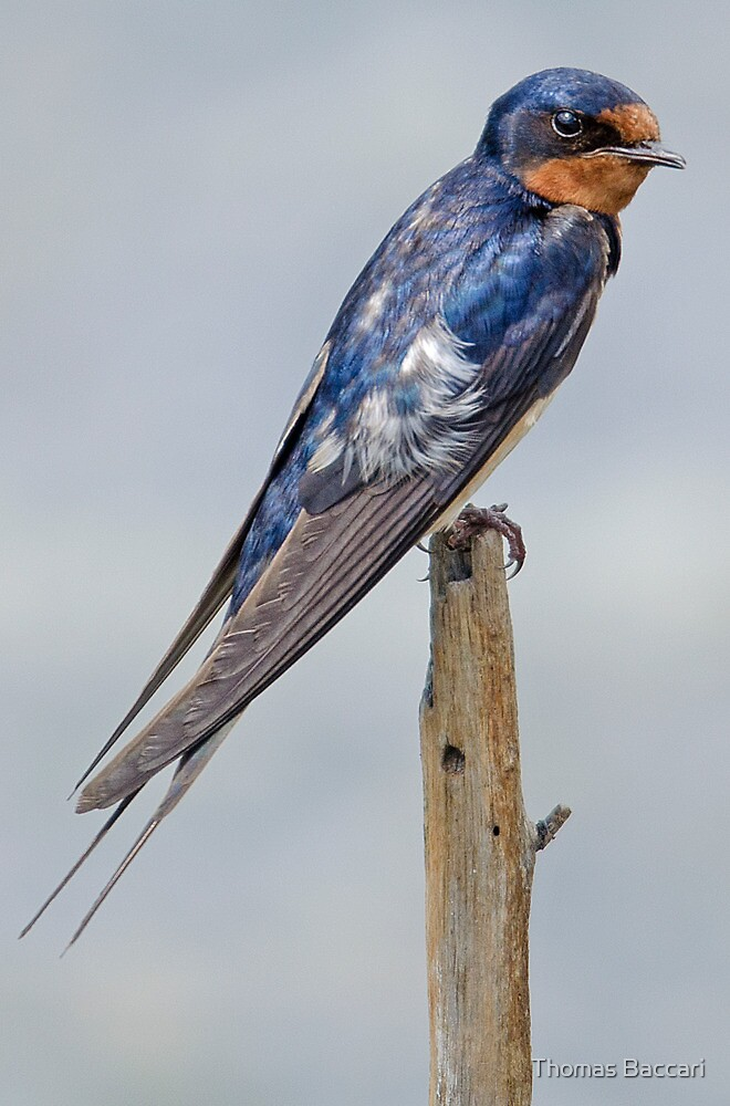 Swallow by TJ Baccari Photography