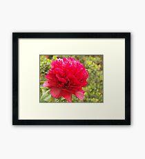 phony rose Framed Print