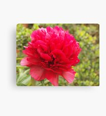 phony rose Canvas Print
