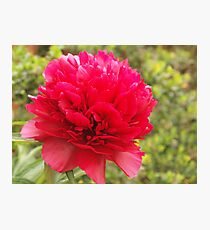 phony rose Photographic Print