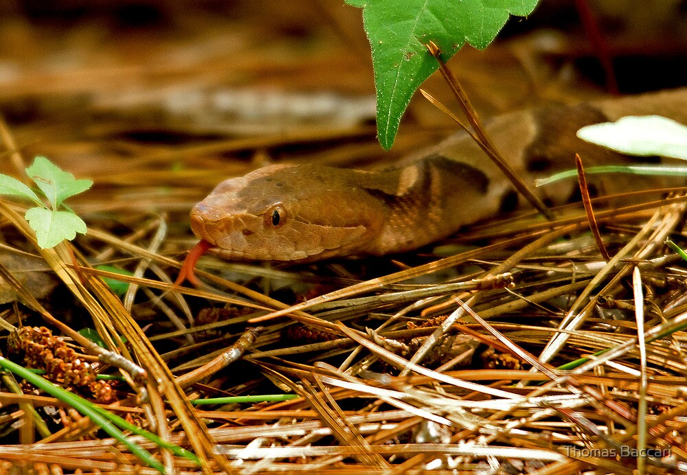Copperhead Snake Sticking Tongue at me by TJ Baccari Photography