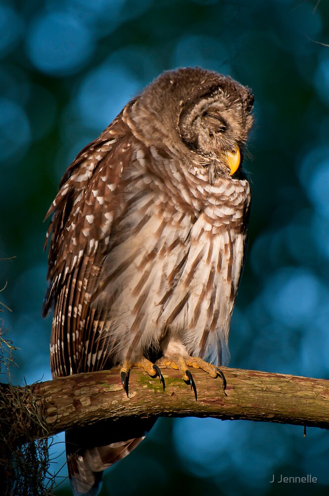 Drowsy Barred Owl at Sunrise by Joe Jennelle
