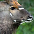 Male Nyala in profile by Anthony Goldman