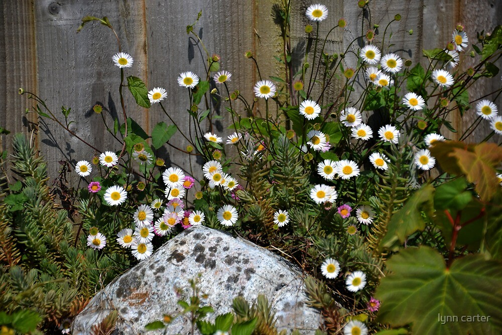 Daisies Rock Okay by lynn carter
