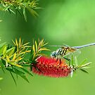 Dragonfly on Bottlebrush by Bonnie T.  Barry