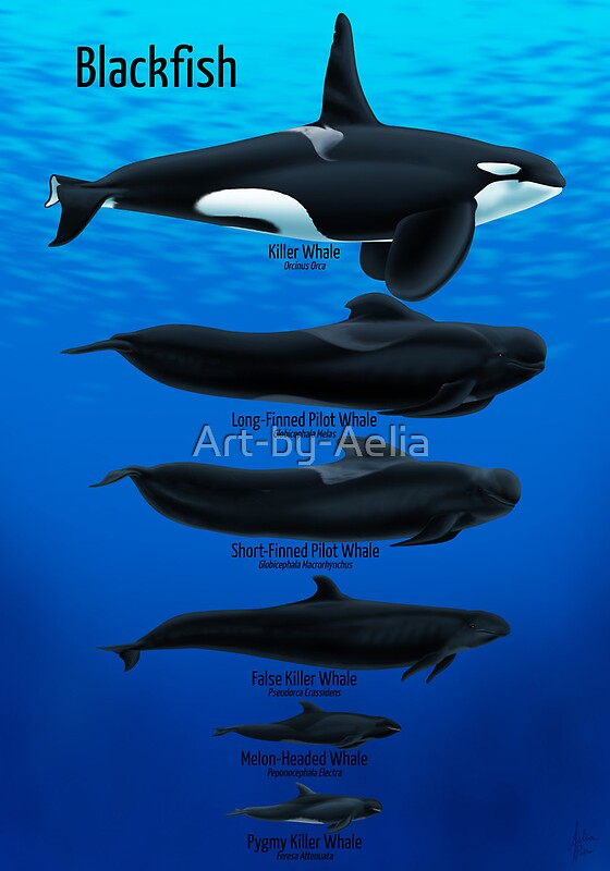 U0026quot Blackfish U0026quot  Posters By Art
