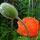 Poppies In The Rain by Fara