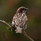 Sparrow: Portugal  by JLaverty